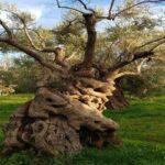 La Piana degli ulivi